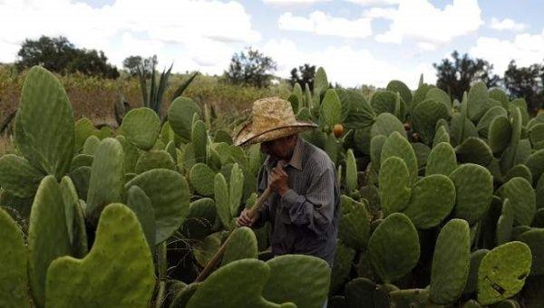 【食糧危機】ウチワサボテンが食料危機の救世主か、国連食糧農業機関が見解