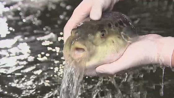 「水を吐くフグ」が世界中で大人気に 各地でパロディー出現 なぜこんなに水を吐く?