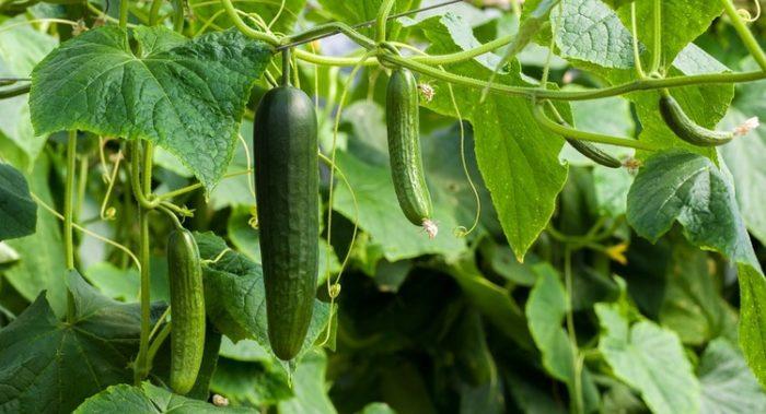 きゅうりとかいうガチで美味い野菜wwww