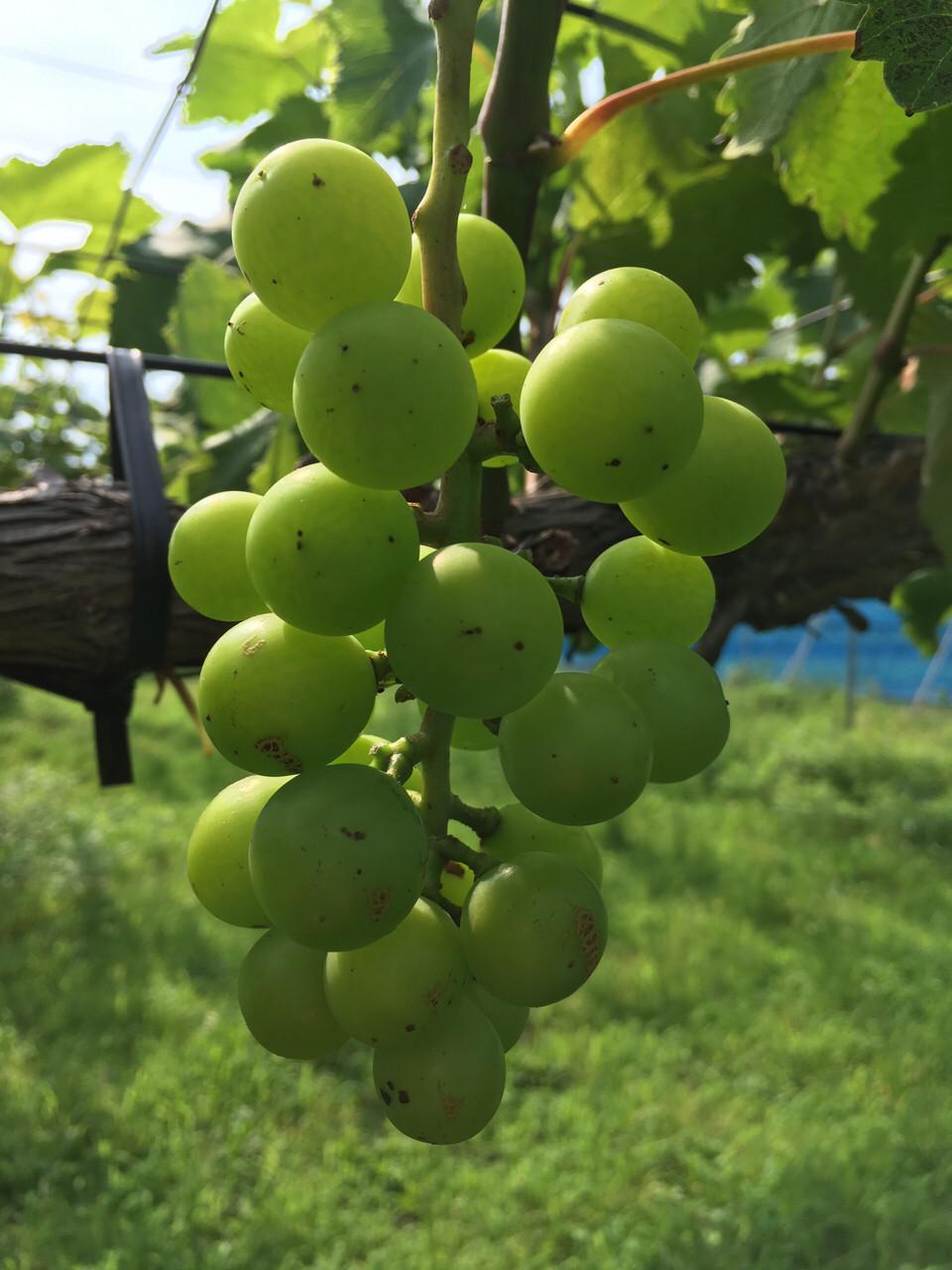 【画像有】ワイ半農半ニートのつくっている果物を見てくれ😡