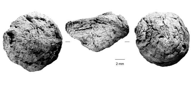 【速報】17万年前の「焼き芋」、南アフリカの洞窟で見つかる