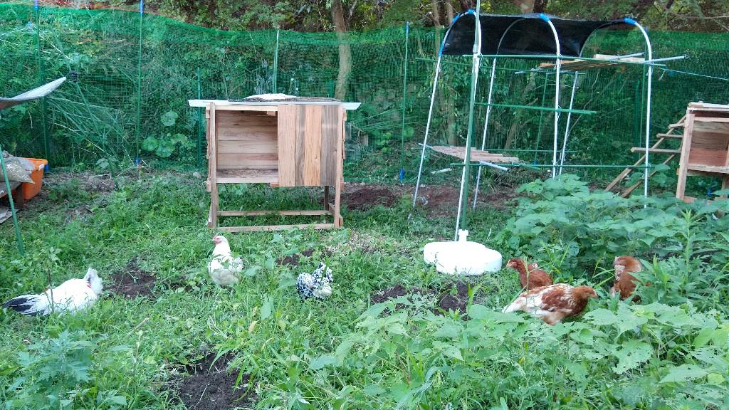 【画像】雑草対策に鶏を雇った結果