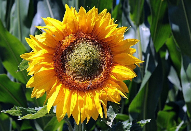 sun-flower-3540266_960_720